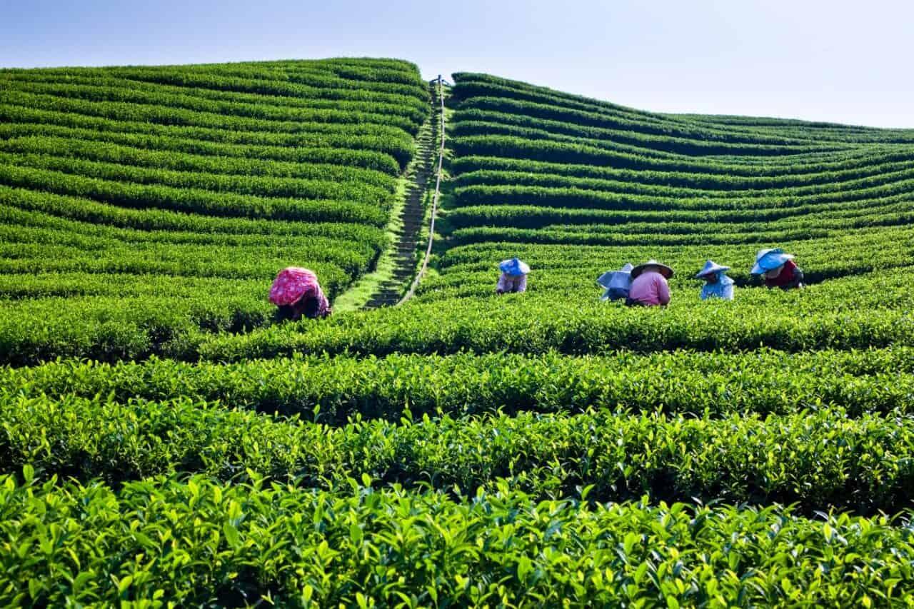 Тайваньская чайная культура